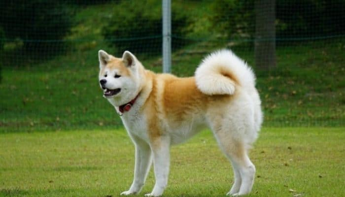 An adult Akita Inu is standing in the garden.