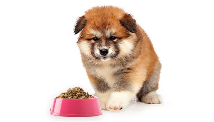 Akita puppy is seen eating kibbles.