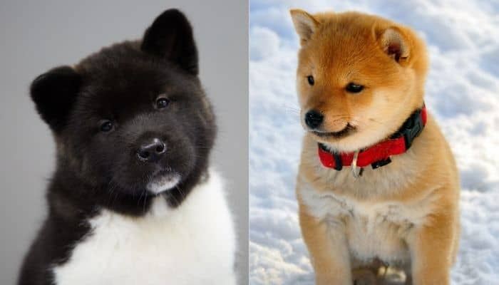 Cute American Akita and Shiba Inu are standing on two different background.