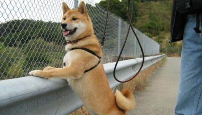 A leashed Shiba Inu is standing next to its owner and admiring nature.