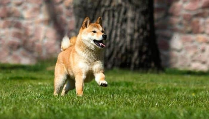 Shiba Inu is running on the green background.