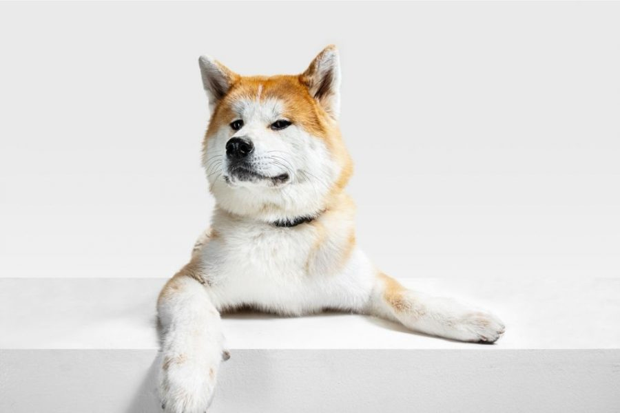 Japanese Akita dog sitting in a white background