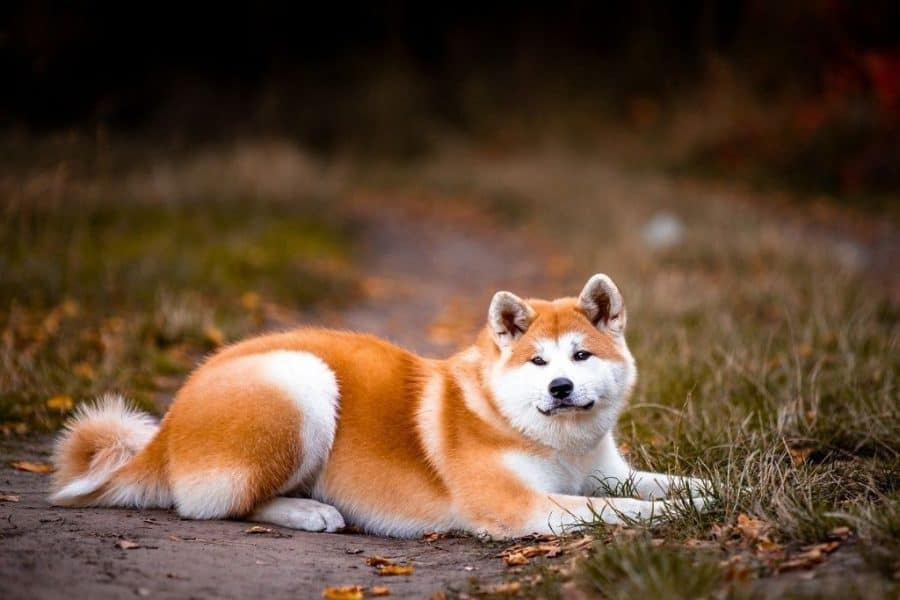 Japanese Akita dog sitting on the road with grass on both side.