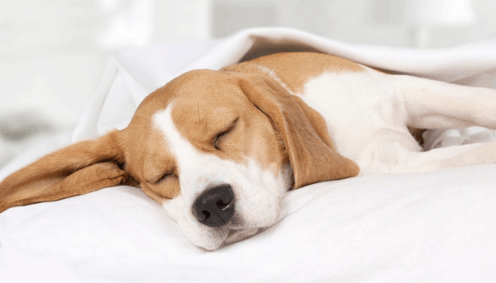 A beagle dog sleeping on a white bed.