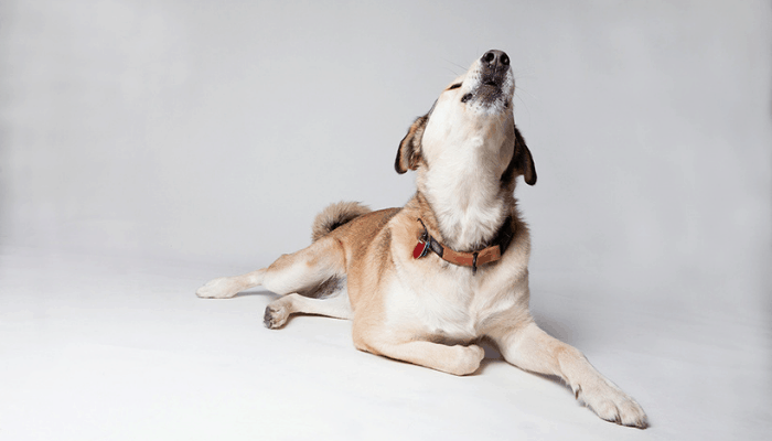 A dog howling at white background